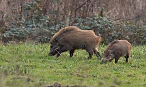 DSC_0665_Wildschweine_Fanel_bearb
