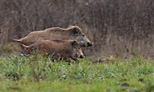 DSC_0738_Wildschweine_Fanel_bearb