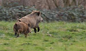 DSC_0746_Wildschweine_Fanel_bearb