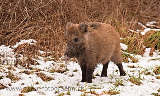 Wildschwein (Bache)