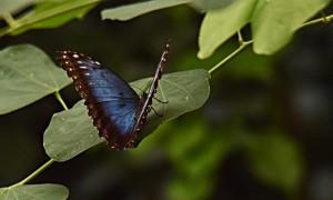 DSC_0529_Schmetterling_blau_bearb