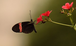 DSC_0533_Schmetterling_braun-rosa_bearb