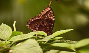 DSC_0581_Schmetterling_braun_bearb