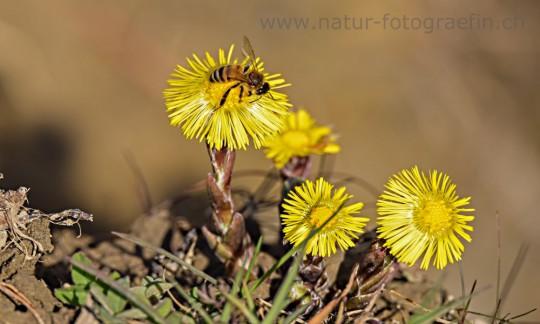 Biene auf Zytröseli