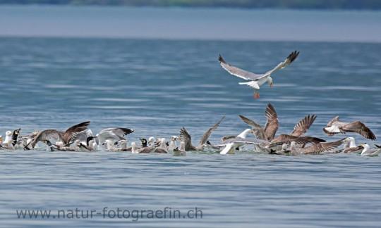 Möven und Kormorane fressen Fischabfälle vom Fischer