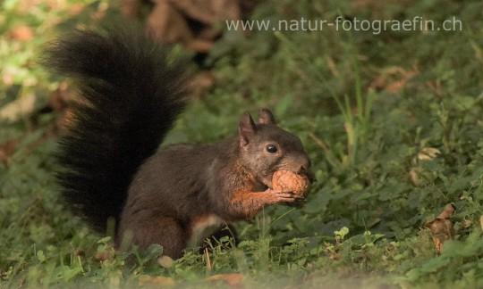 Eichhörnchen mit Baumnuss
