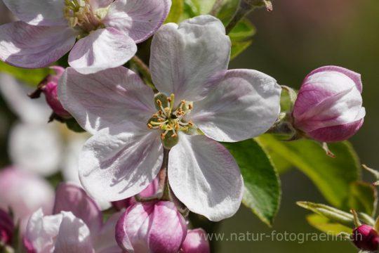 wilde Apfelblüten