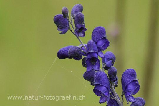 Eisenhut - Aconitum