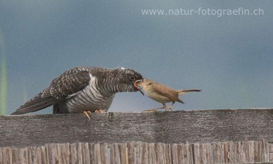 Junger Kuckuck wird von Teichrohrsänger gefüttert