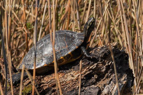 Florida-Rotbauch Schmuckschildkröte im Burgäschisee