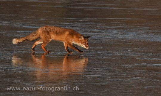 Fuchs auf Eis