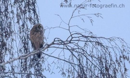 Sumpfohreule - extrem seltener Brutvogel, regelmässiger, Durchzügler, extrem seltener Wintergast