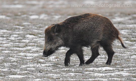 Wildschwein angeschossen