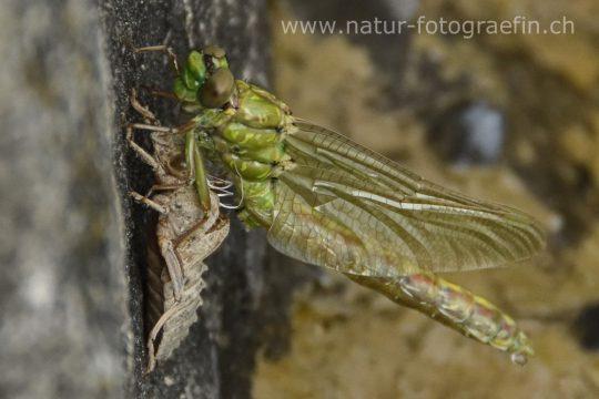 Libelle ist aus Cocon geschlüpft
