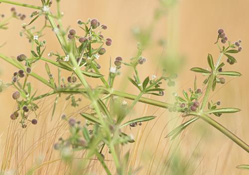 Klettpflanze