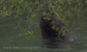 DSC_0890_Biber1_bearb