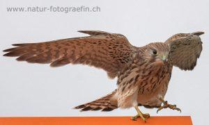 DSC_7331_Turmfalke_jung1_bearb