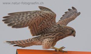 DSC_7379_Turmfalke_jung1_bearb