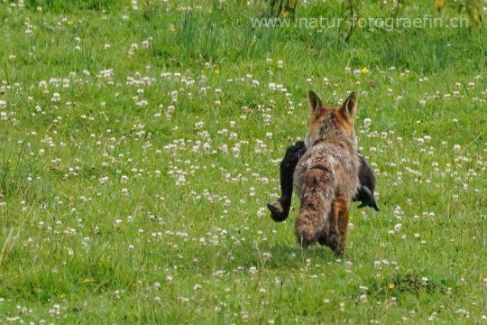 Fuchs mit Kormoran